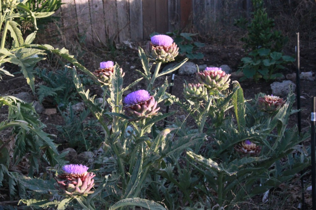 photo of flowering artichoke