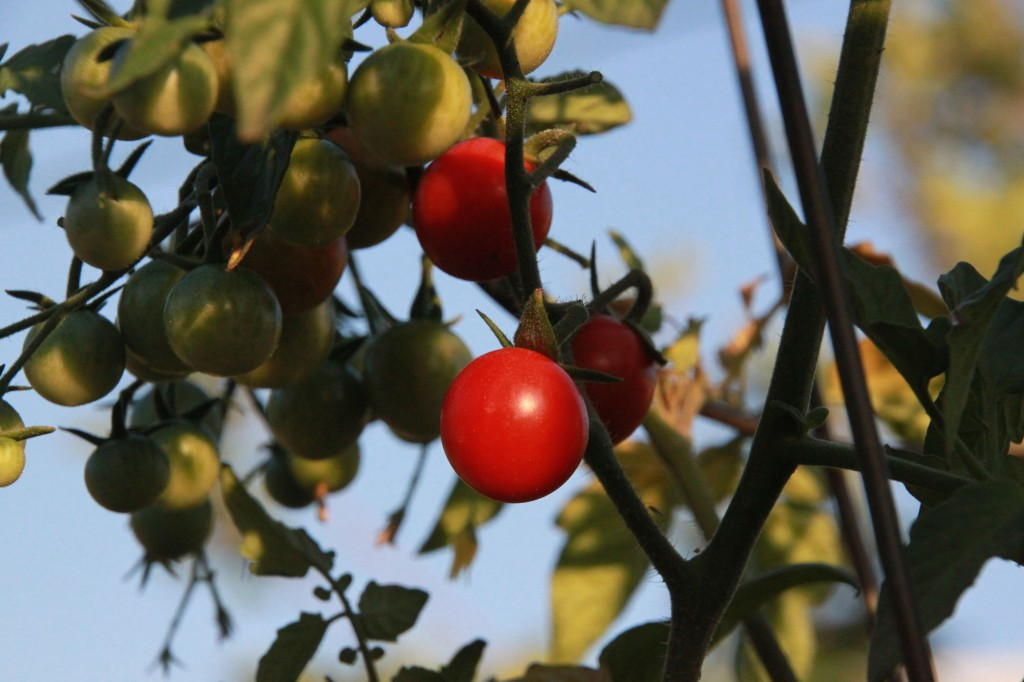 photo of cherry tomato