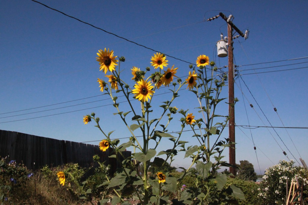 photo of volunteer sunflowers