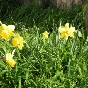 The daffodils under my apple tree. A happy surprise every Spring!