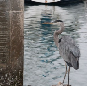 The Great Blue Heron. They like to haunt the piers around Shelter Cove Marina - there are four or five of them who are there before full sunrise, and always after sunset.