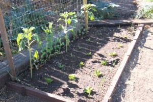 The lettuce bed, where grasshoppers love to nibble. The peas against the fence are being left alone.