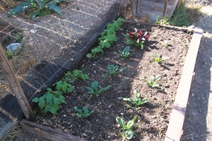 Spinach (foreground) and bush beans (background).